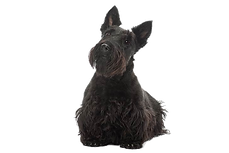 Scottish-Terrier-On-White-02.png