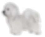 coton-tulear.png