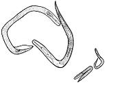 Australasian Association of Nematologists