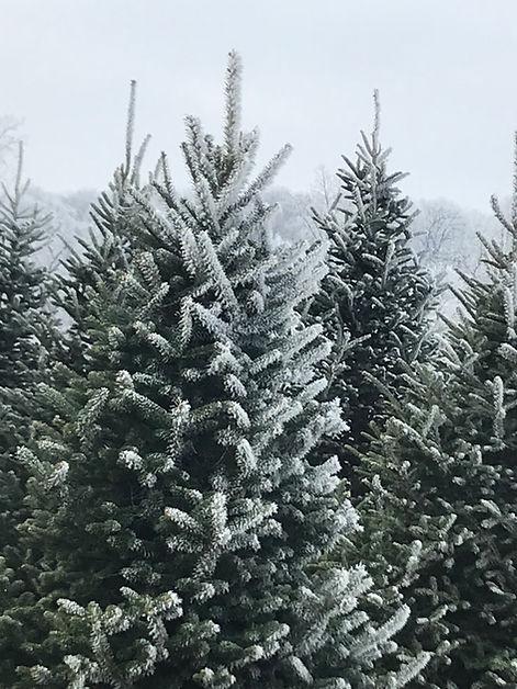 Fraser fir with snow