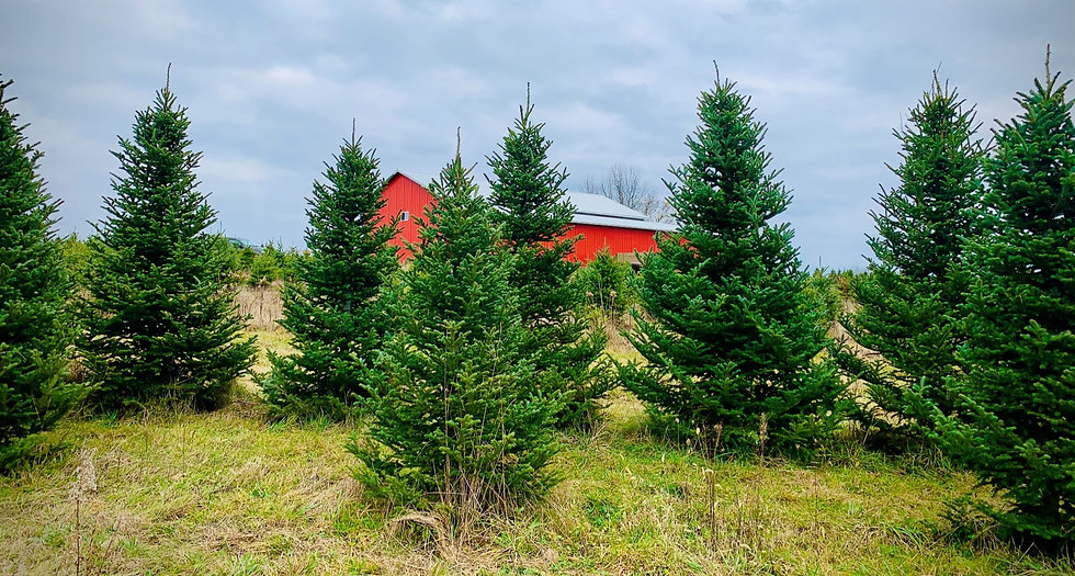 Christmas trees with a red barn in the background