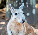 Wallaby at Wildlife Habitat Port Douglas