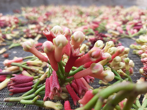 clove flowers.jpg
