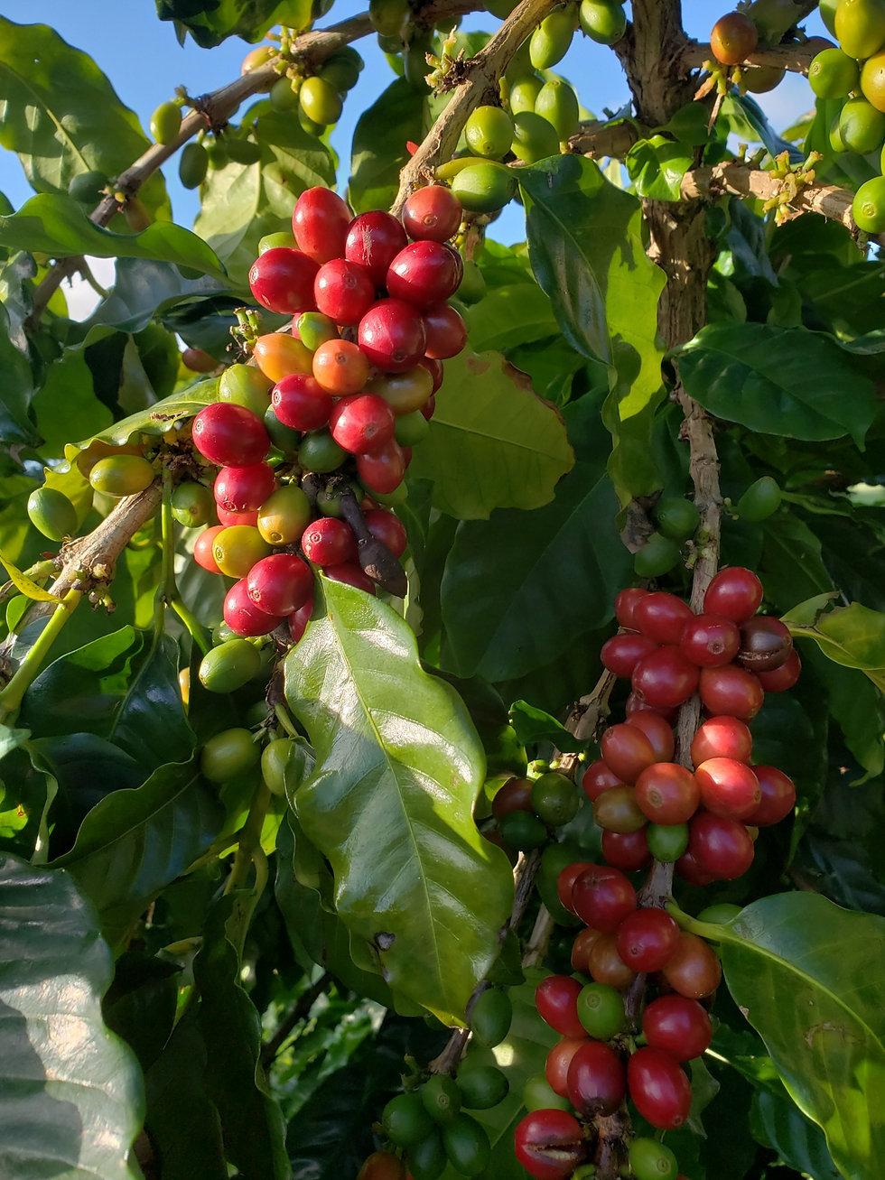 coffee%20cherries_edited.jpg