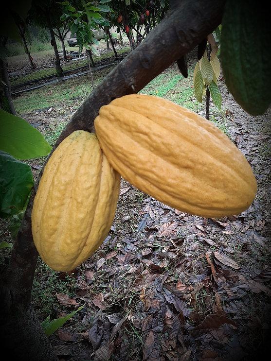 cacao pods closeup.jpg