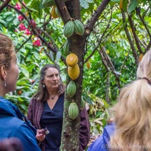 chocolate-tour-cacao-tree.jpg