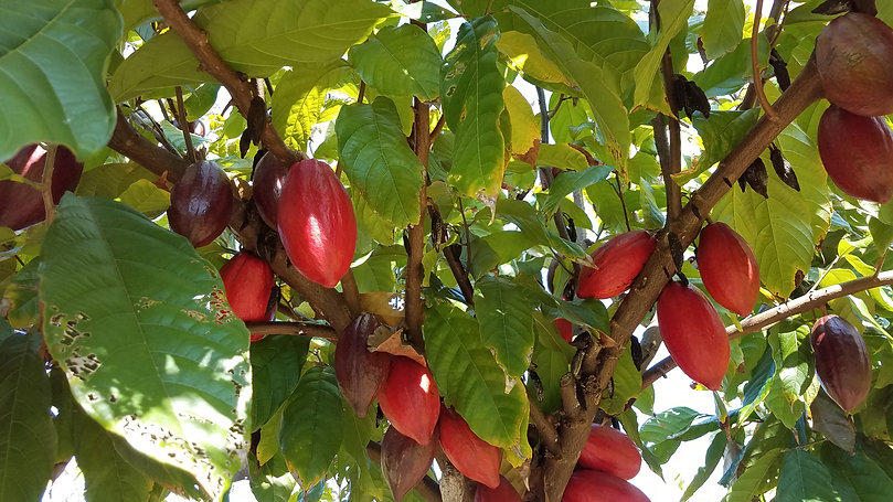 red cacao in tree.jpg