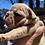 Thumbnail: Lilac Merle boy