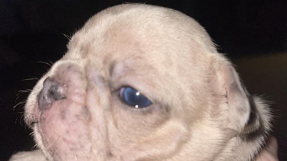 Lilac Merle boy