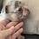 Thumbnail: AKC  Lilac and Tan Merle Male