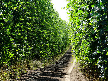 Shadows fall between the rows of hop vin