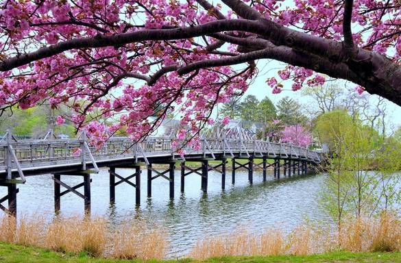 Spring Lake Cherry Blossoms New Jersey