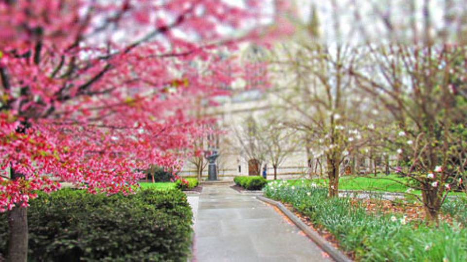 Cherry Blossoms in Princeton New Jersey
