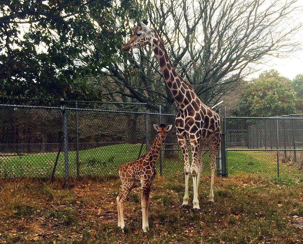 Baby Giraffe Six Flags Great Adventure