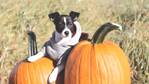Where To Pumpkin Pick With Your Pooch In Jersey