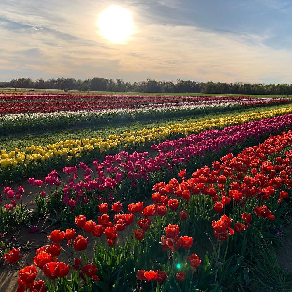 Holland Ridge Farm New Jersey Tulip Festival