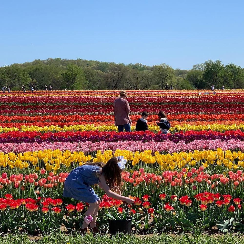 New Jersey's Tulip Festival Holland Ridge Farms