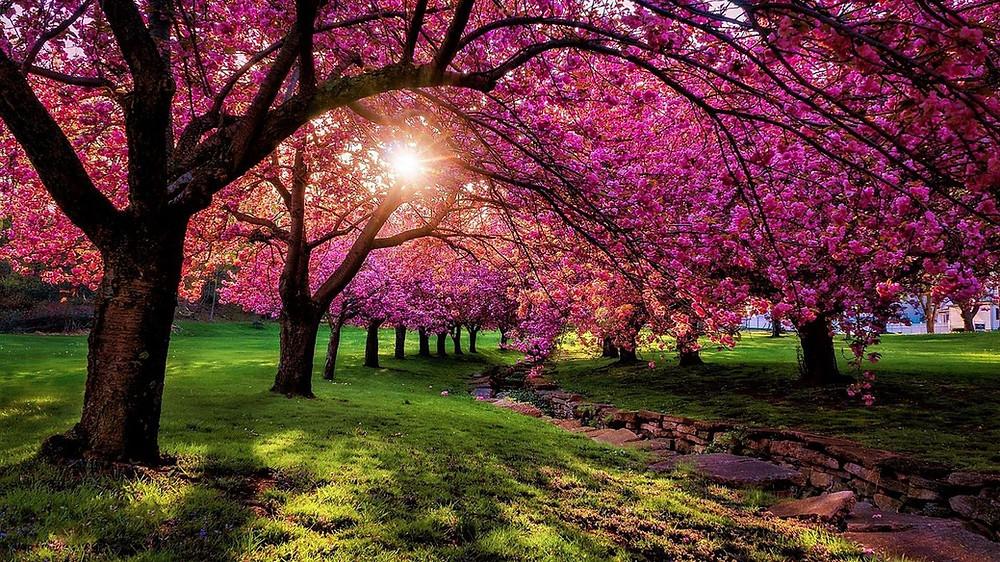 Morris County Cherry Blossoms - Hurd Park