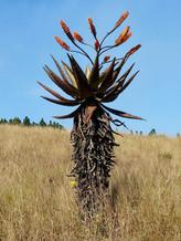 Aloe_marlothii_subsp_marlothii,_habitus,