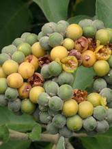 Solanum_mauritianum07.jpg