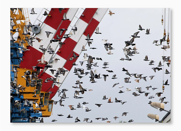 Pigeons et grues