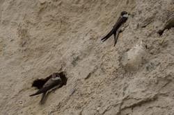 Oeverzwaluwen