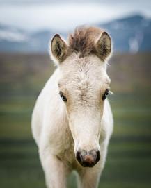 Blue eyed Icelandic foal.jpg