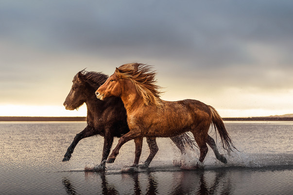 Cantering in the sea, Iceland.jpg
