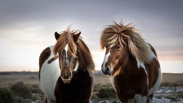 Icelandic horse friends