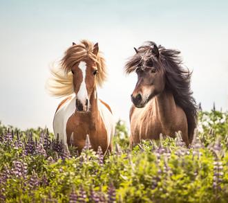 Two Icelandic horses.jpg