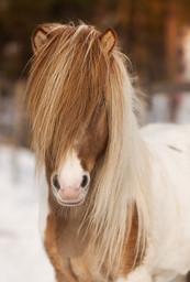 Icelandic Stallion.jpg