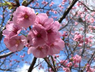 桜開花状況のお知らせ