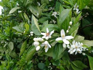 白い可憐な花が咲きみかんの花が香る時期がやって来ましたo(^o^)o