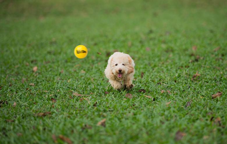 35966-puppy-chasing-a-tennis-ball-1280x8