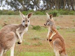kangaroos-1563624_960_720