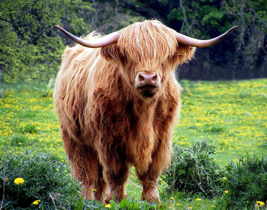 cow-431729_960_720