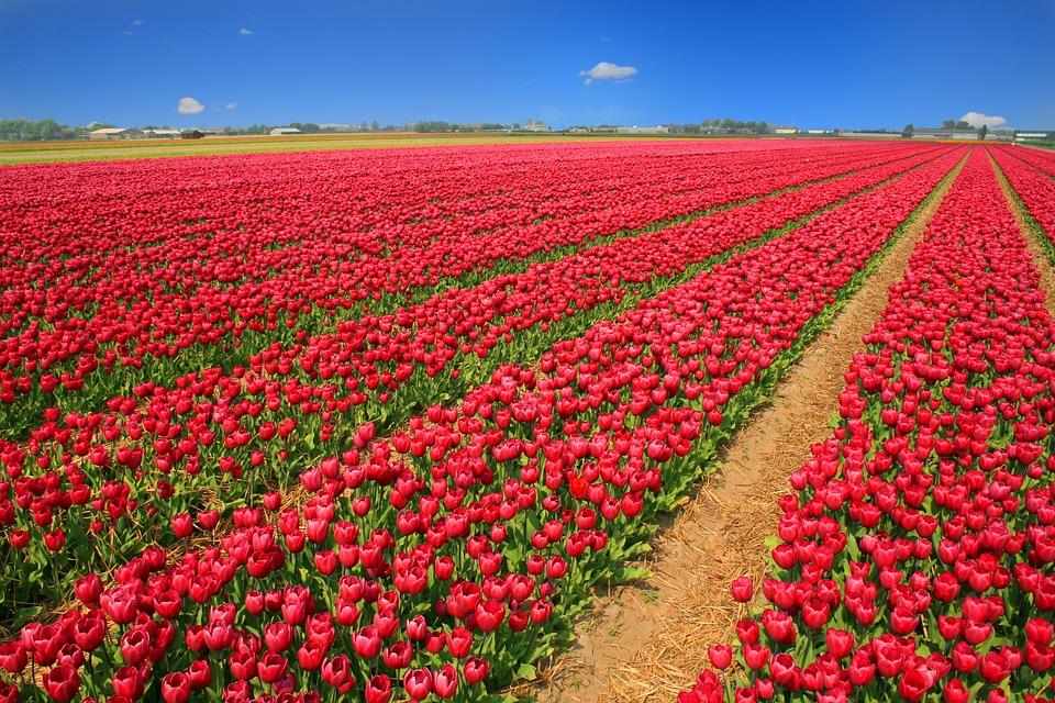 tulip-field-1235222_960_720