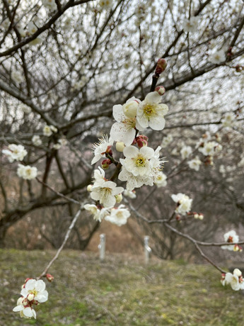 梅の花を見に行ってきました!