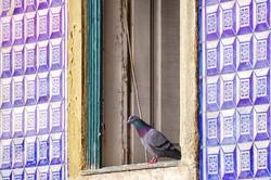 Pigeon, Lisbon