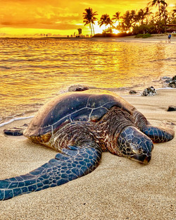 Kauai Sea Turtle