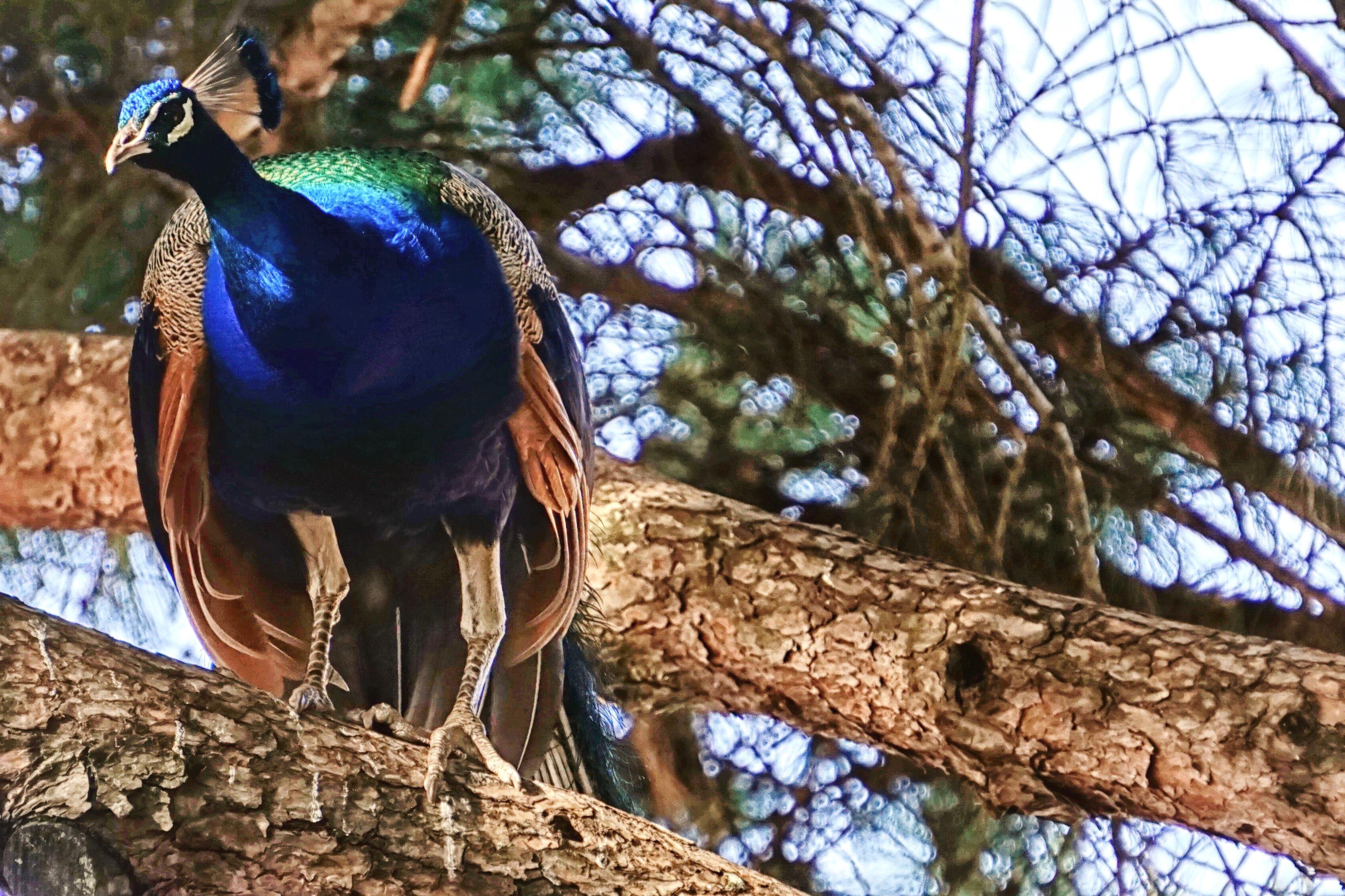 Peacock, Lisbon