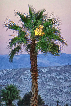Full Moon and Palm Tree, Palm Spring