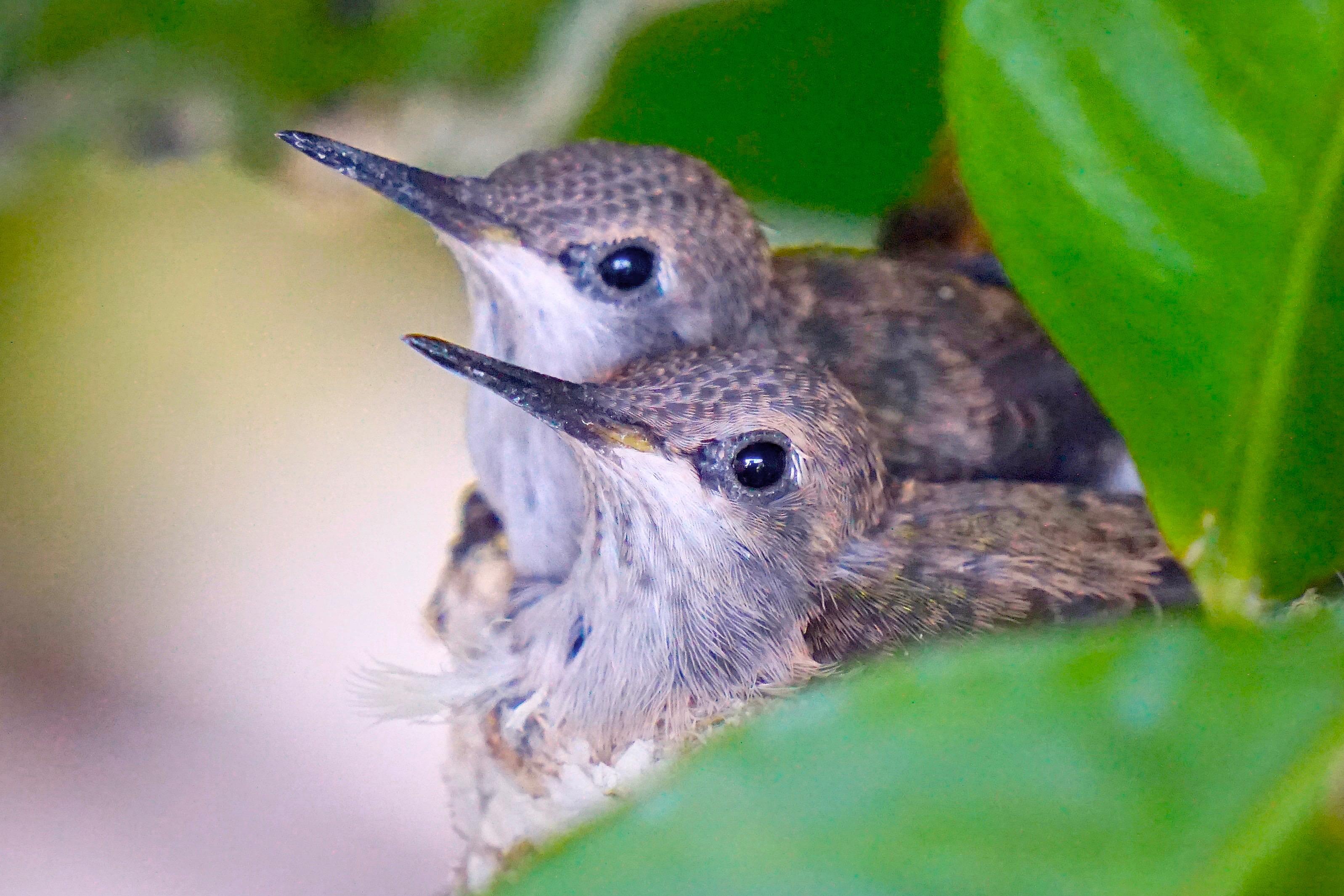 Hummingbird Siblings 1