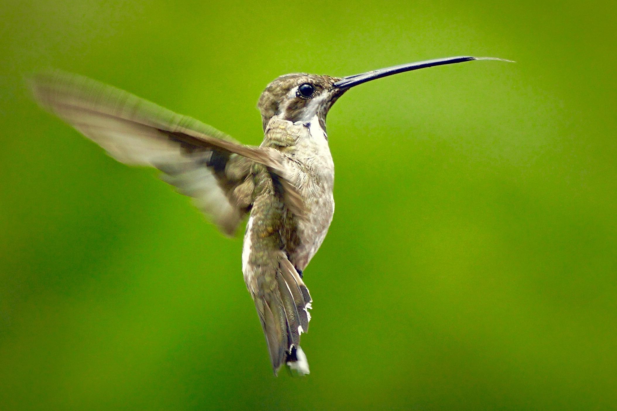 Hummingbird in Flight, PV