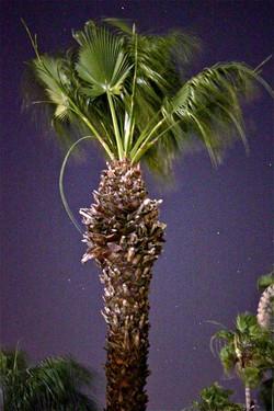 Windy Palm Tree, Palm Springs
