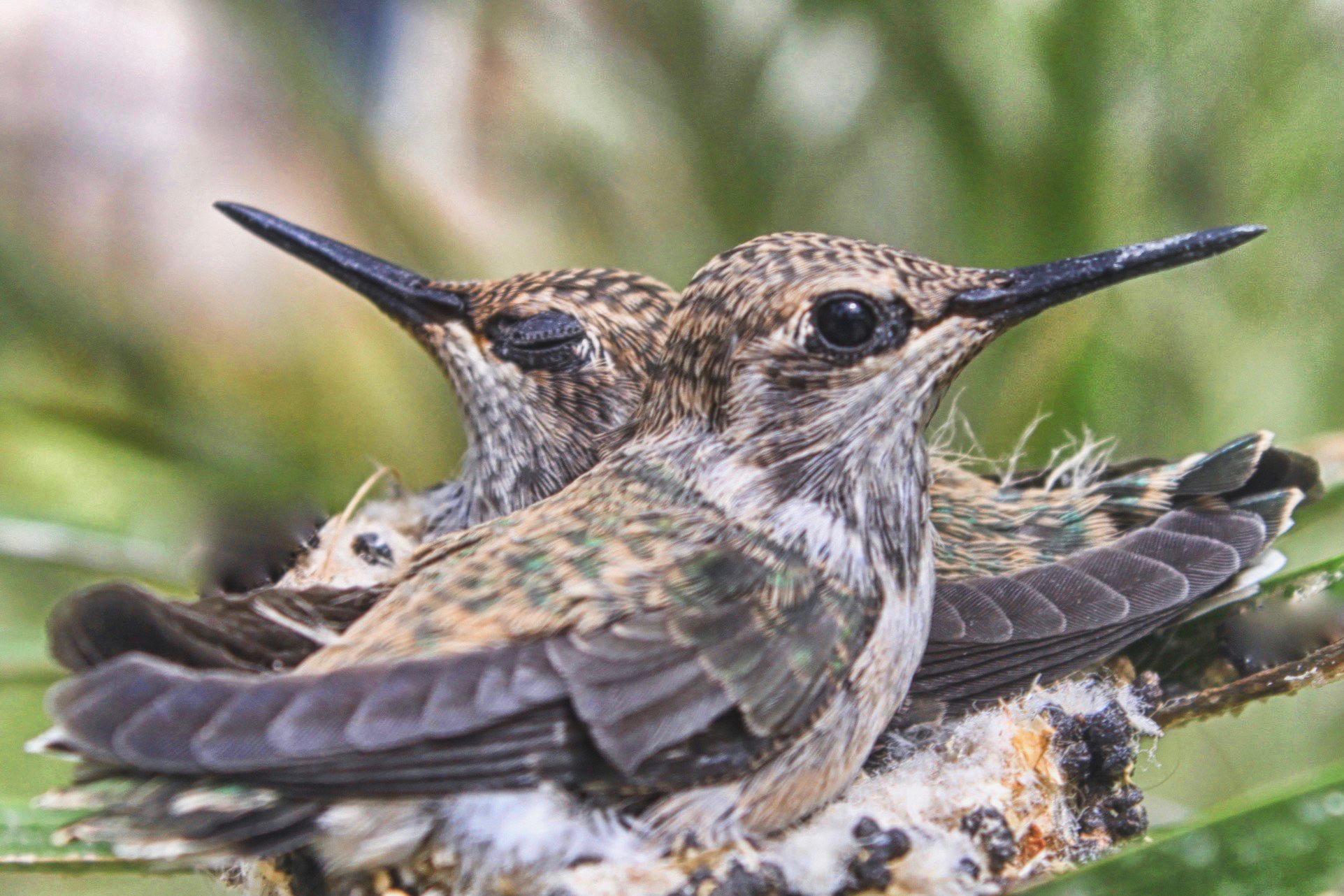 Hummingbird Siblings 2