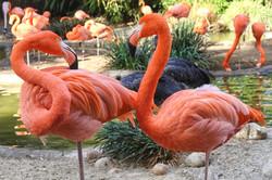 Flamingos, San Diego Zoo