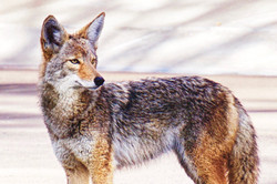 Coyote, Palm Springs