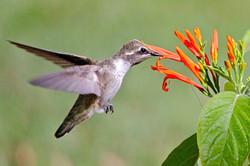 Hummingbird in Orange Flower