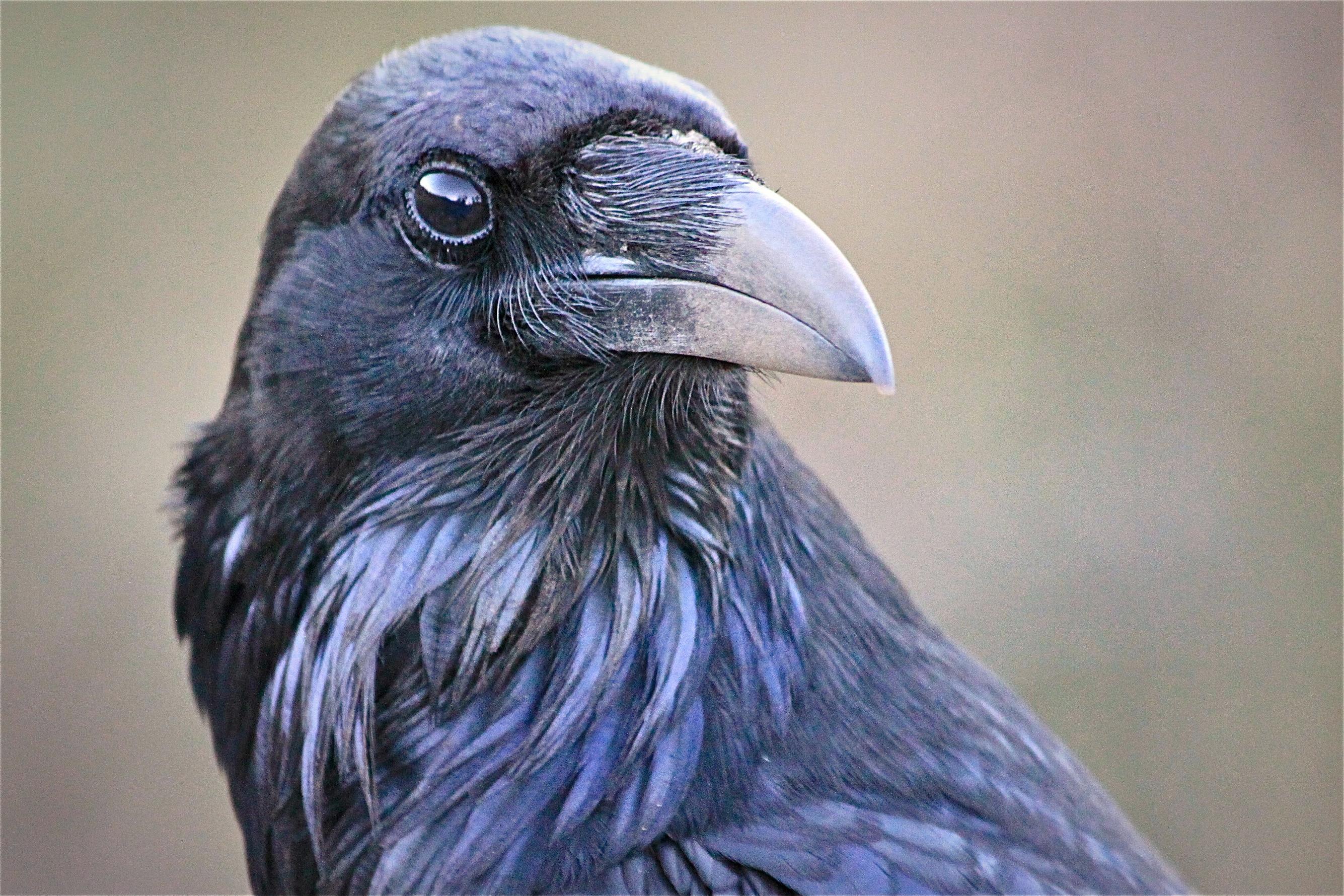 Raven, Palm Springs